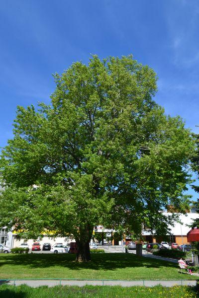 Vítězný strom